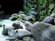 Цихлиды вида  Трофеус икола (Tropheus moori