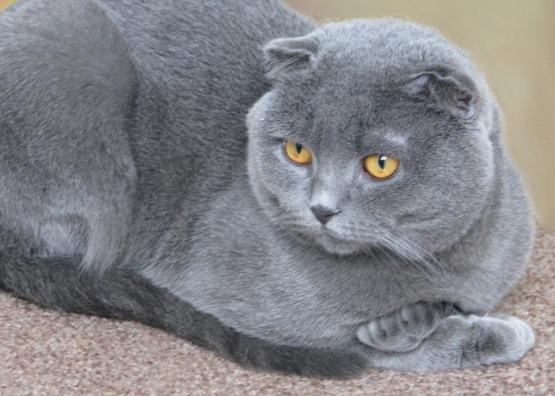 Шотландский вислоухий кот  цена