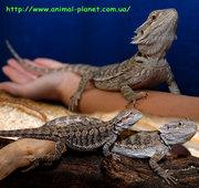 Ящерицы разных видов –полностью ручные особи