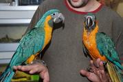 Синегорлые Ары полностью ручные выкормленные вручную птенцы (выкормыши