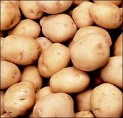 Семенной картофель продажа в Украине,  семенной картофель купить цены