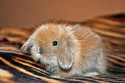 Крольчата: вислоухие,  карликовые,  ангорские