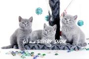 Московский питомник SilverySnow предлагает британских котят
