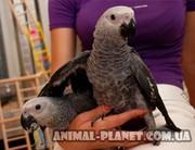 Попугай Жако самый умный попугай из крупных