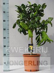 Цитрусовые растения,  цитрон рука Будды,  комнатные растения оптом.