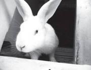 продам молодняк кроликов великанов