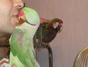 Александрийские попугаи. Продажа
