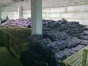 Предлагаем фуражный картофель разных сортов