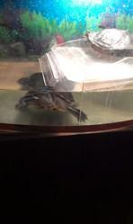 Красноухие черепахи  девочька и мальчик.