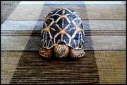 Продам ручных звездчатых черепах