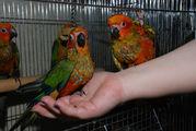Продам лучших говорунов среди средних попугайчиков : Сенегальский
