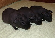 Свинки выращены у нас в спецпитомнике