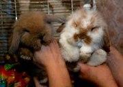 Карликовые декоративные кролики - мини,  и мини баранчики полностью руч