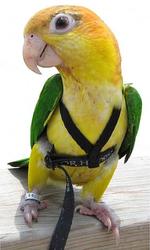 Прогулочные шлейки для попугаев,  шлейка для выгула попугая