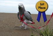 Прогулочная шлея для попугаев Авиатор