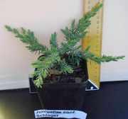 Продаем оптом хвойные растения в контейнере Р9
