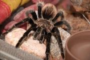 В продаже пауки