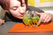 Сенегалы,  сенегальчики попугайчики красавчики