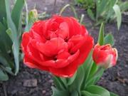 луковицы тюльпанов сорта Миранда