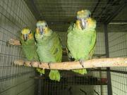 Зеленый амазон,  попугай амазон