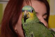 Зелений амазон,  папуга амазон