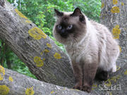 Кот чистокровный невский маскарадный (сибирский колор поинт) Вязка