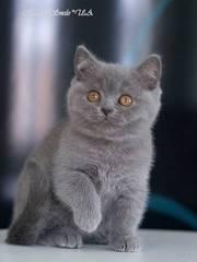 Чистокровная британская кошечка голубого окраса Эйлин из питомника