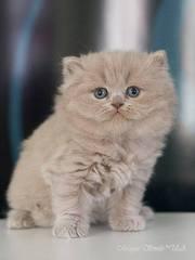Чистокровный британский длинношерстный котенок лилового окраса