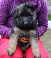 Продаются крепкие,  мощные щенки немецкой овчарки
