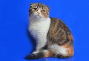 Мраморные котята от титулованных родителей