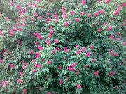 Красный каштан Aesculus carnea для озеленения