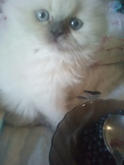 Котёнок пушкарэгдолл. 3 месяца,  Блюпойнт. Мальчик - мякушка