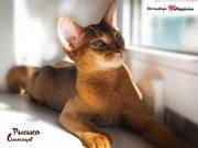 Абиссинская кошка (котята)