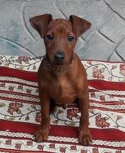 Цвергпинчер (карликовый пинчер) щенки 3 месяца рыжие.  Киев. Отличный подарок!