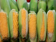 Кукурудза закупівля. Куплю кукурудзу.