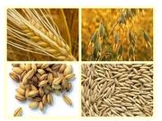 Пшеница,  кукуруза,  соя,  подсолнечник. Закупка
