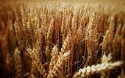 Зерноотходы зерновые,  масличные,  бобовые куплю
