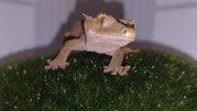 Ресничатый геккон или геккон бананоед,  изумительная рептилия