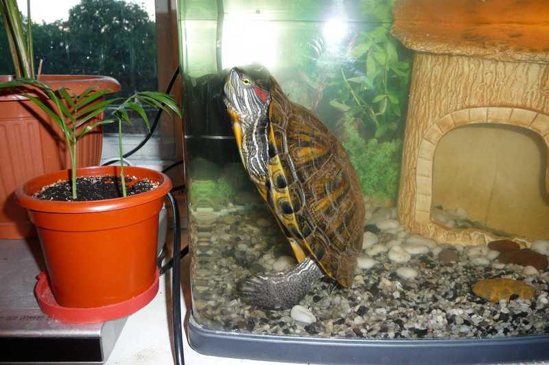 Чем кормят маленькую красноухую черепаху в домашних условиях 110
